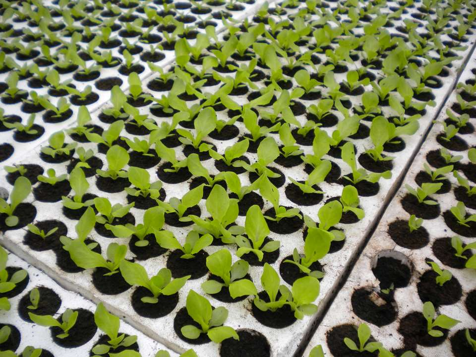 LETTUCE PRODUCTION IN GREENHOUSES