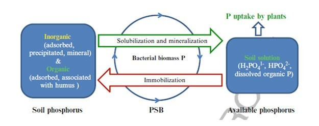 P SOLUBILIZATION